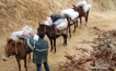 Mule rain headed to supply backpackers in the Sierra Laguna mountains