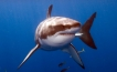 The great white shark - Carcharodon carcharias, can be found in the coastal surface waters of all the major oceans.