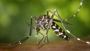 Aedes albopictus mosquitoe that carries Dengue