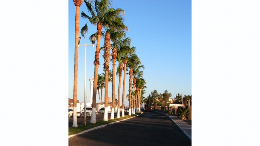 Palm lined streets with calke to prevent insect infestation