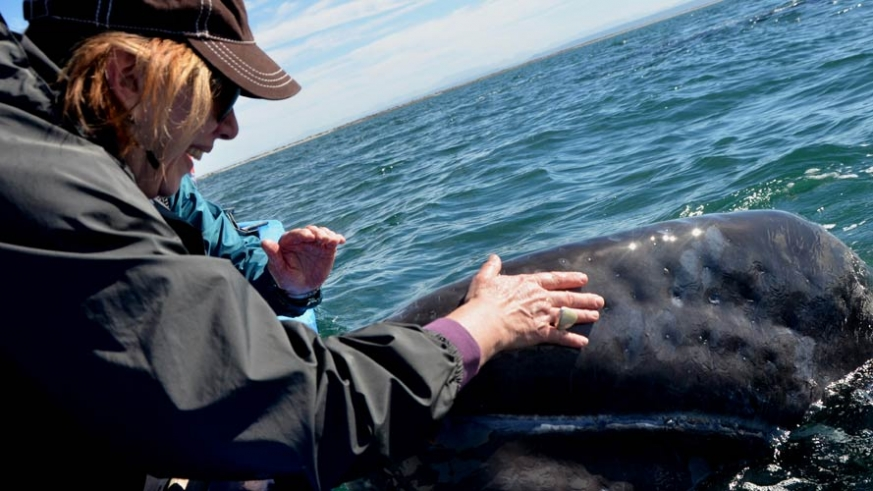 Whale interactions in Bahia San Ignacio, home of the friendly gray whales