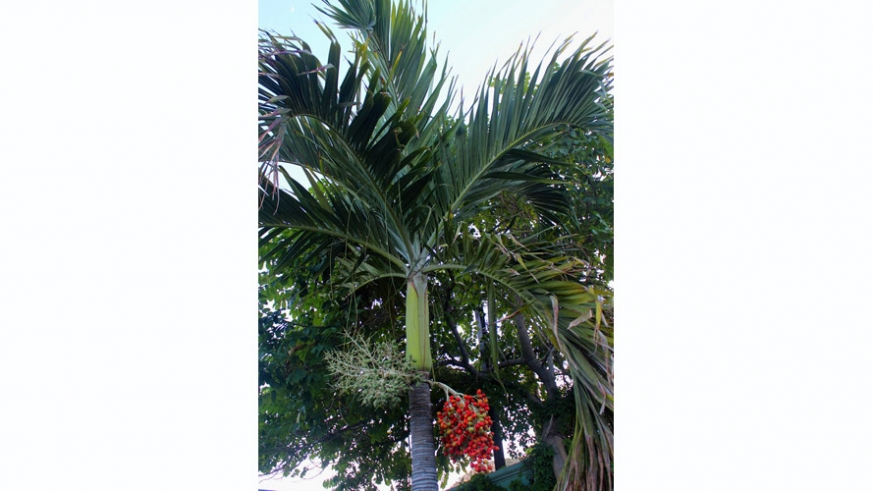 Decorative palm and red date fruit