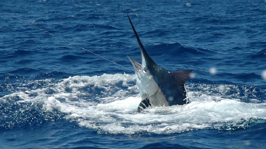 Fishing for the elusive Blue Marlin in the Sea of Cortez