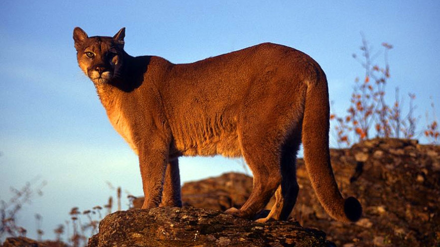 Puma tracks have been seen in the mountains of Baja California Sur, but no one has laid eyes on a cat yet