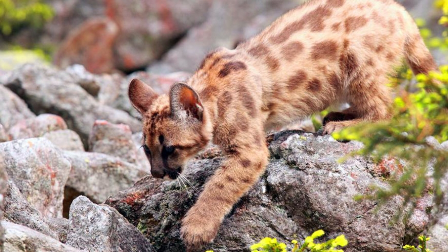 A puma concolor cub ventures bravely out of the den. The juvenile markings clearly evident and useful