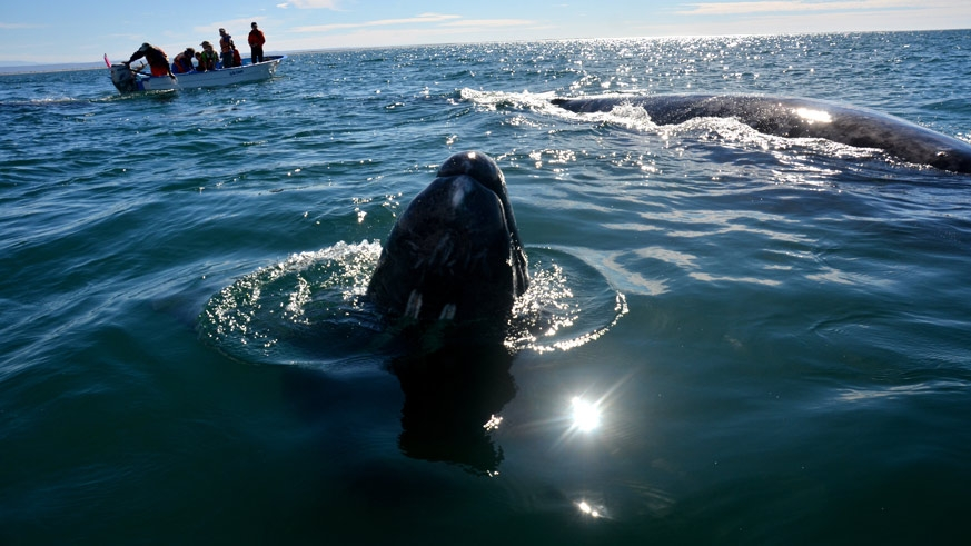 Whale Watching on the western side of the Baja peninsula