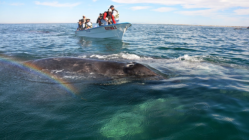 Up close encounters with gray whales in Baja with AdventureSmith