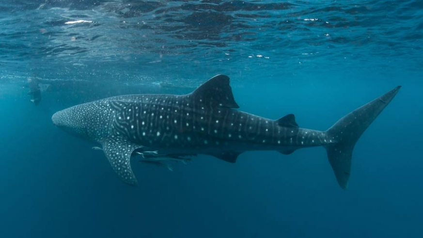 The whale sharks are most often found in the winter months in the Bay of La Paz